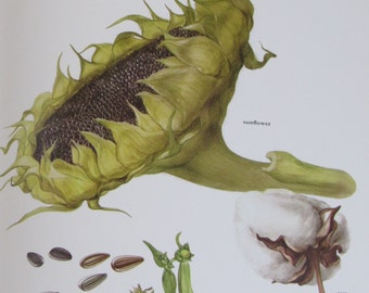 Cotton/Sunflower/Ramtil, Color Plate, 7.75 x 11.5 in, Vintage Book Page Illustration by Marilena Pistoia, Unframed Print