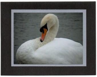 Elegant Swan at Kensington Gardens, London England. Blank Card. Note Card