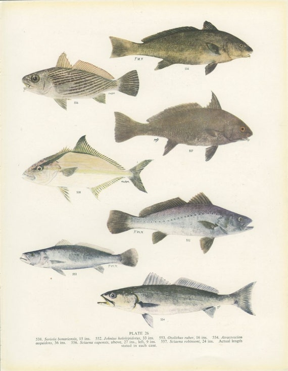 Amberjack tiger tooth croaker vintage fish print 26 1950 for What is a croaker fish