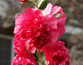 Hollyhock RED DOUBLE 30 seeds