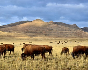 Bison Herd Prairie Photo, Woodland, Wildlife Photography, Fine Art Photography