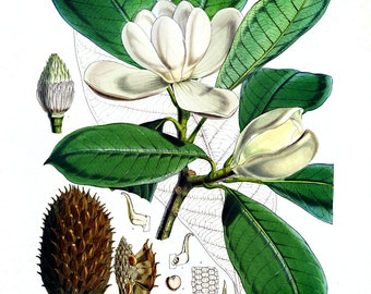 Vintage Botanical Print. Magnolia Flower Educational Chart Diagram Flower Seed Packet Poster Pull Down Chart art southern louisiana - CP218