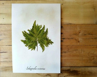 Real Herbarium Specimen - Spikemoss - Real Pressed Botanical Art