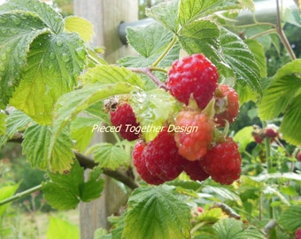 5 x 7 Photograph - Raspberries
