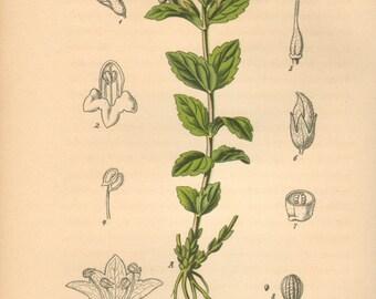 1884 Alpine Bartsia or Velvetbells, Bartsia alpina Antique Lithograph