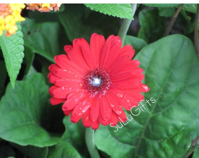Beautiful Red Gerbera Flower Gerber Daisy - Digital Print