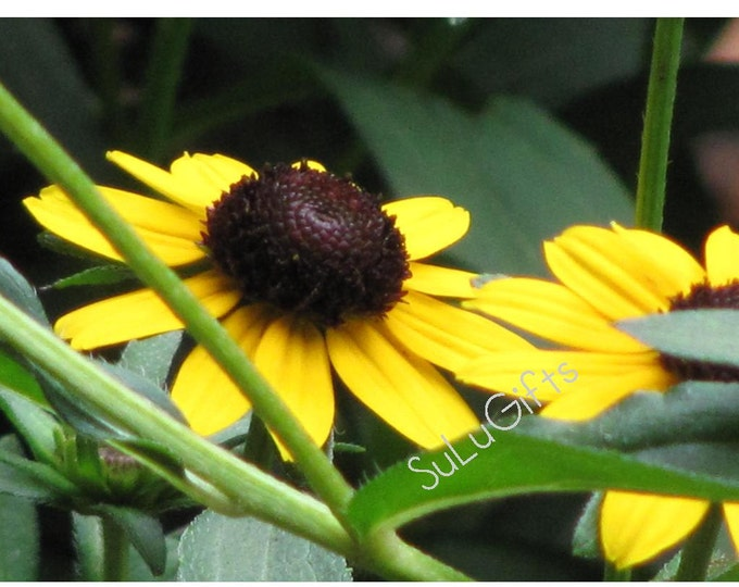 Beautiful Black Eyed Susan Flower Yellow Brown Sun Flowers Rudbeckia - Digital Print