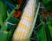 ORGANIC Double Standard Corn Open Pollinated Seed