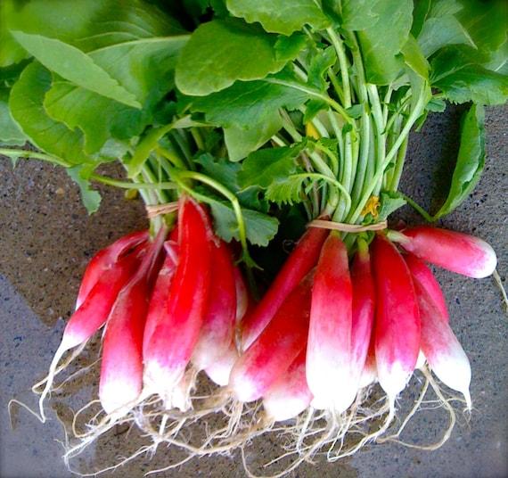 CLEARANCE SALE Organic Heirloom French Breakfast Radish Seeds
