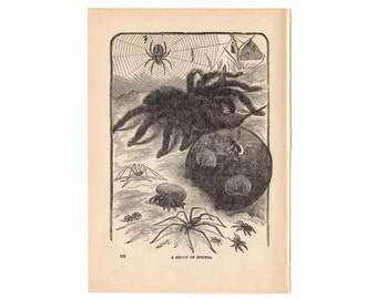 Antique Spider Print, Art to Frame, Original Arachnid Engraving, Cobweb Print, 1890s Nature Print, One Hundred Year Old Print