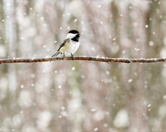 Black Capped Chickadee Singing, Chickadee Print, Singing Bird, Bird Decor, Nature Print, Bird Photography, Snowing