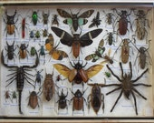 REAL Multiple INSECTS BEETLES Spider Cicada Scorpion Collection in wooden box/big size/is07t