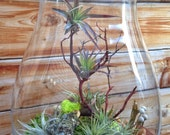 Large Easy Care Low Maintenance Air Plant Terrarium - A Unique Holiday or Christmas Gift