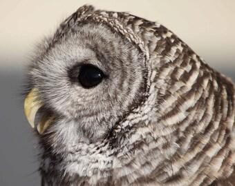 Barred Owl. Owls. Birds of Prey. Professional Print. Wildlife Images. Bird of Prey Photography by Liz Bergman. Liz and Rich Photography.