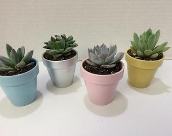 Succulent Plants - 50 Assorted Succulent Plants with Miniature Painted Terra Cotta Pots