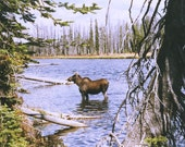 Muse in a Lake Moose in a Lake Yellowstone Park 8x10 or 16x20 Professional Print Fine Art Photography Nature Print
