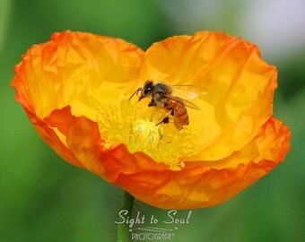 Nature Photography, honey bee art, orange poppy flower photography, floral home decor, fine art print, bee on flower