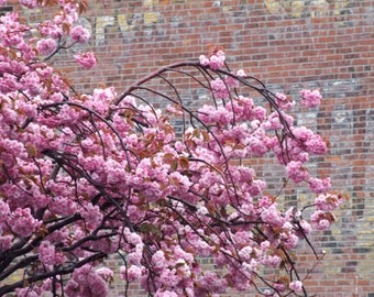Pink Cherry Blossoms & Industrial Brick Wall, Victoria, Vancouver Island, BC, Architecture Wall Art Square Photograph Print, 6x6, 8x8, 10x10