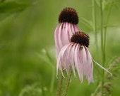 Pale Purple Coneflower Seeds, Perennial Flower Seeds, Attracts Butterflies, Drought Tolerant, 25 Seeds