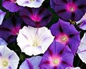 Heirloom Morning Glory Hazelwood Blues, Sky Blue and Violet, 25 Seeds