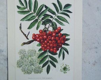 Digital download-French vintage botanical prints, affiches botaniques, sorbier aux oiseleurs