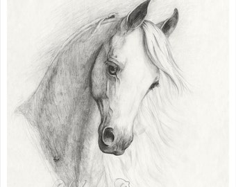 White Arabian horse head, giclee print, pencil drawing