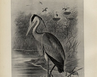 Antique Original Bird  Lithograph - Common Heron - Black and White Print  dated 1890