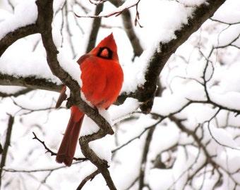 Cardinal Photograph - Red Bird - Winter Tree Art - Winter Red Bird - Cardinal In Snow - New York Cardinal - Male Cardinal - Bird Photograph