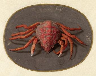 """Jan Augustin van der Goes : """"Crab"""" (c1690-1700) - Giclee Fine Art Print"""