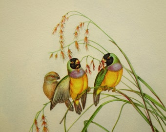 1948 vintage print pictures of birds bird illustration Gouldian Finch (Amadina Gouldiae) 18x23cm (7x9'')