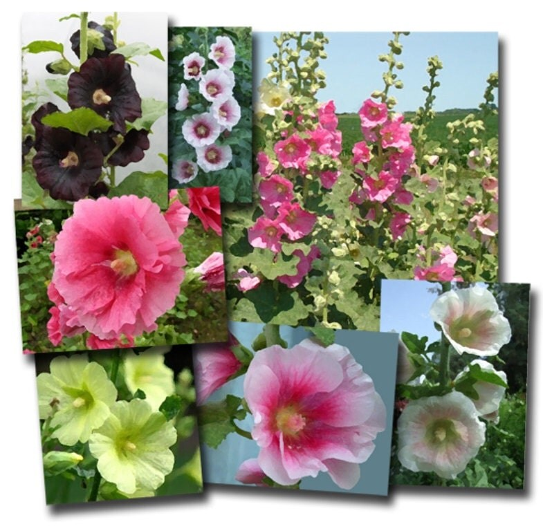 Hollyhock Seeds Indian Spring Mix Alcea Rosea Great For