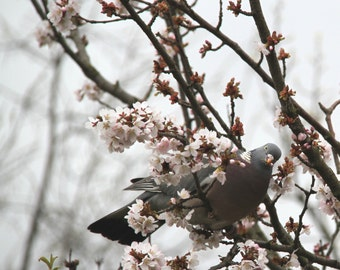 Pigeon Eating Blossom Fine Art Photographic Greetings Card