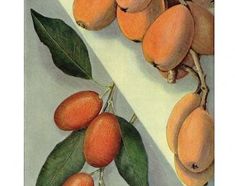 Antique Food Print Fruit Print Kumquat Kitchen Decor 11 X 8 1/2
