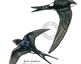 Bird illustration - Swift and Swallow - bird art, print of original scratchboard artwork
