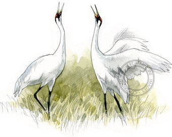Whooping Cranes - bird art, wildlife art - nature print of original artwork