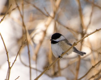 Black capped chickadee, fine art photography print, nature photography, wildlife photo, chickadee photograph, Wisconsin art, bird watching
