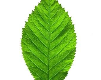 American Hophornbeam leaf