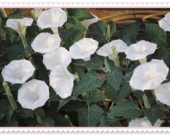 VikkiVines~GIANT WHITE-MOONFLOWERS ~ Scented Night/Goth Garden ~ Ipomoea Alba  ~ Great Garden Gift ~ 20 Fresh Seeds! CVGG64
