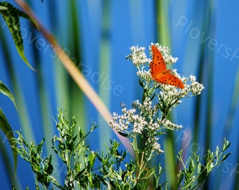 Gulf Fritillary Butterfly Photograph // Butterfly Picture // Florida Nature Photograph