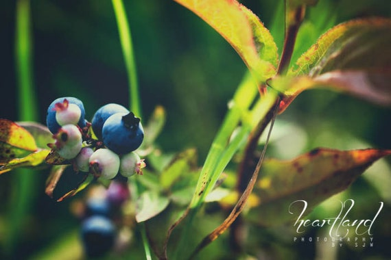 Large Nature Print, Wild Blueberry Photo, Boundary Waters, Blue and Green, Oversized Wall Art, Extra Large Print, Nature Photography