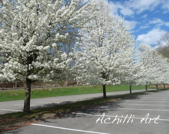 Blossoming Trees- Photograph