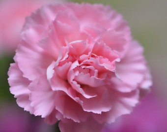 Pink Carnation print, pink flower, nature photography, photo of a flower, photo print, photography print, nature photo, carnation flower