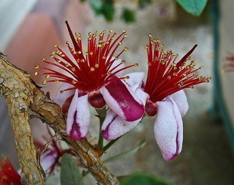 FEJOA Pineapple Guava Silver Leafed Ornamental Edible Fruit Tree Shrub Live Plant Starter Size 4 Inch Pot Emeralds TM