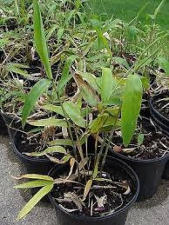 Piantine di bamboo o bamb gigante phyllostachys edulis o for Vendita piante bambu gigante