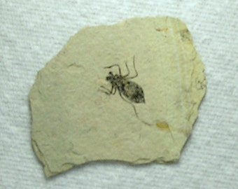 Fossil Dragonfly Larvae from Italy