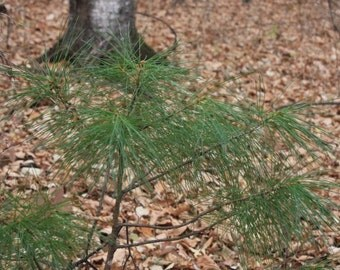 "6 Woodland Pine baby/starter/seedling tree Wild Assorted varieties 8""-18"" 2-3yr"