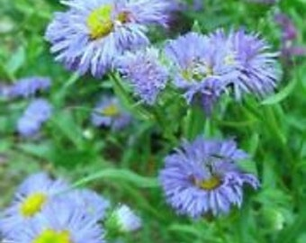 Blue Beauty Erigeron Flower Seeds / Speciosus / Perennial   50+