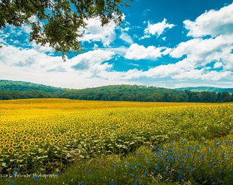 Color photograph, Sunflower Field, New York, Countryside, Summer, Photography