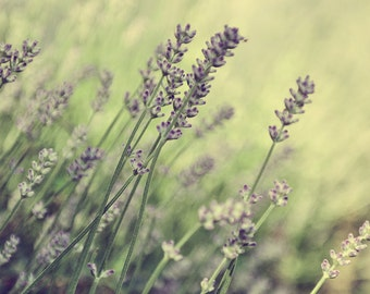 Digital Photography Download - Lavender field