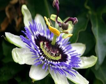 Passion Flower Vine Seeds (Passiflora Caerulea) 30+Seeds